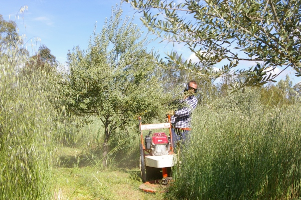 walk behind slasher in olives, tall grass