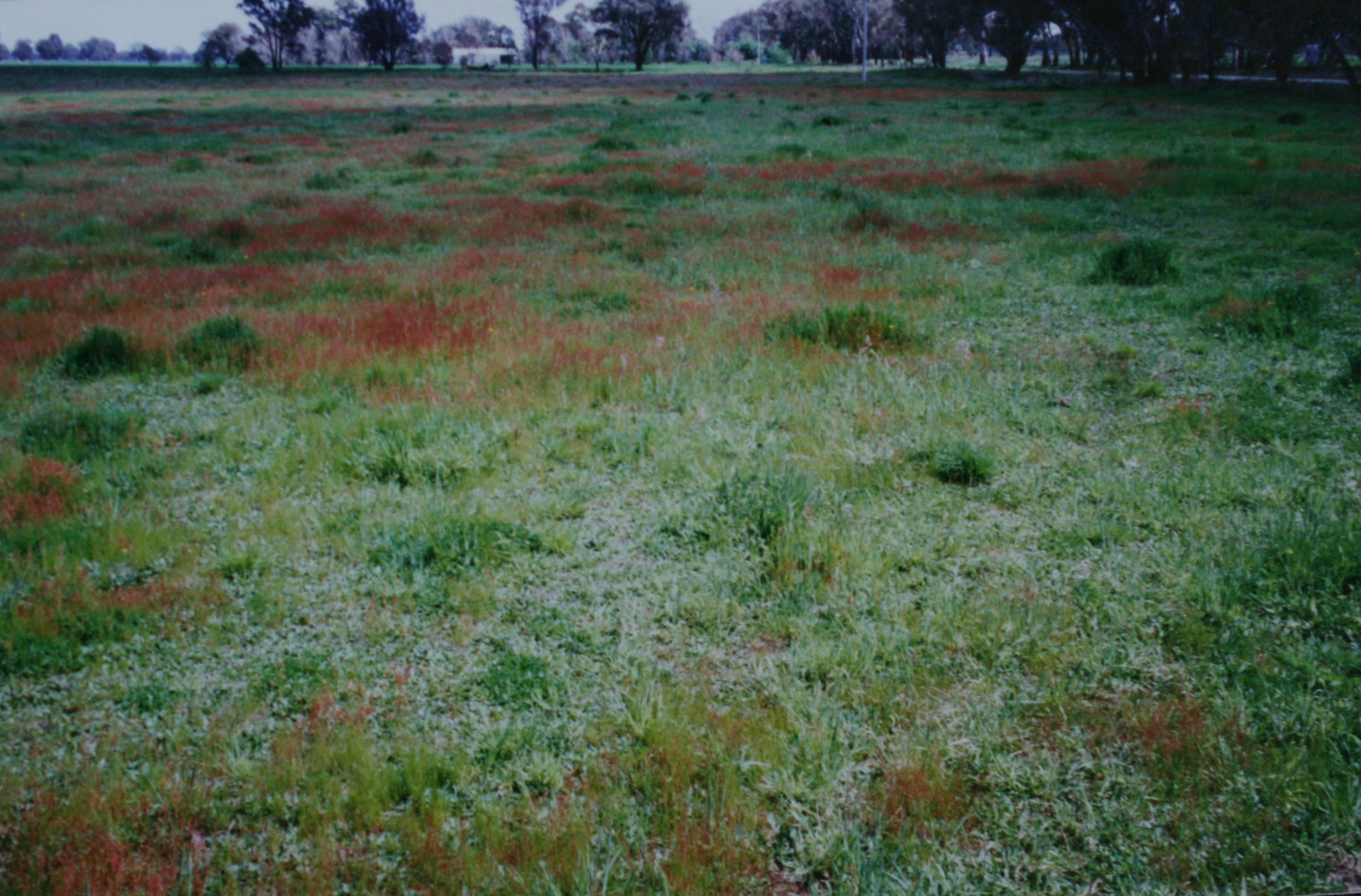 At purchase, June 1996, showing pasture species of sorrel, flatweed, and some cocksfoot tussocks.
