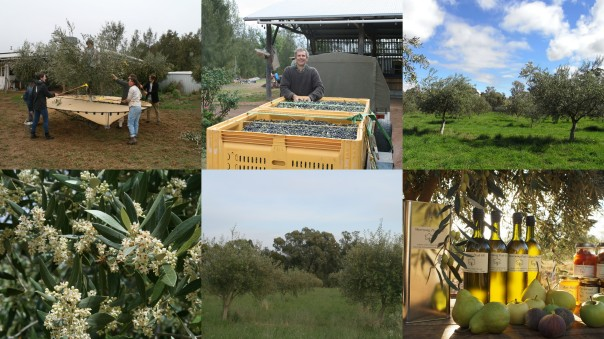 Olive Grove collage